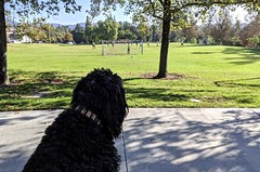 Watching the soccer game... (Bennilover) Tags: park playing chasing soccer game pickup dog dogs benni bennigirl aurorapark sunday sunny warm fun