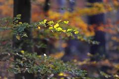 IMG_0166 (geraldtourniaire) Tags: wald herbst bokeh baum blatt 6d eos6d 135l 20 natur nature