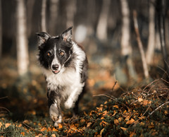 45/52  Wood Elf (JJFET) Tags: 45 52 weeks for dogs border collie paddy dog sheepdog