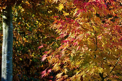Ace Acer (Deepgreen2009) Tags: acer leaves autumn red yellow vivid maple japanese colourful garden home tree foliage