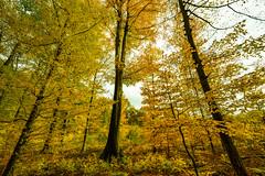 Herbstwald (clemensgilles) Tags: forest forst foret wälder bäume trees autumn automne rheinland deutschland germany