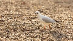 Gull on stones (Future-Echoes) Tags: 2019 bird gul bokeh stones depthoffield 4star