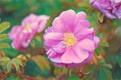 The Rose - HSS! (JSB PHOTOGRAPHS) Tags: nd38737studio topazstudio2 owenmemorialrosegarden eugeneoregon flowers rose bokeh bokehlicious sliderssunday hss nikon d3 mamiyaseckormacroc80mmf4n mamiya seckor macro c 80mm f4 n