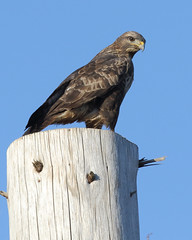 Common Buzzard, Jura (allengillespie.photo) Tags: buzzard commonbuzzard raptor birdofprey jura scotland