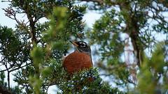 Turdus Migratorius II (AVNativePlants) Tags: american robin bird native berries wildlife red tree fall autumn pose juniper cedar eastern