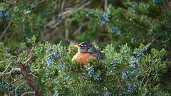 Turdus Migratorius III (AVNativePlants) Tags: american robin bird native berries wildlife red tree fall autumn pose juniper cedar eastern