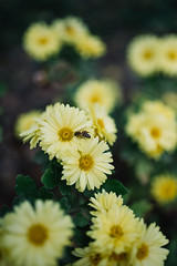 little bee sitting on  yellow flower with pollen in the autumn season on a meadow (shixart1985) Tags: asteraceae beautiful bee bloom blooming blossop collect field flora floral flower garden honeyproducing honeybee inflorescence insect meadow nature nectar yellow