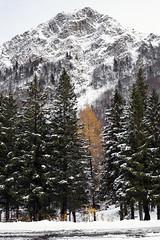 First snowfall of the season - 2 (Nobusuma) Tags: nikon nikond610 nikkor50mmf18g digital trees firstsnowfall snow fall autumn mountains italia italy appenninotoscoemiliano valdiluce ニコン イタリア アペニン山脈 初雪 雪 森 山