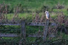 Barn Owl (Robin M Morrison) Tags: barnowl allermoor somerset late afternoon
