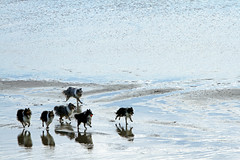 who let the dogs out (1crzqbn) Tags: dogs sliderssunday nature ball beach reflections shadows refractions outside fun blue play 1crzqbn