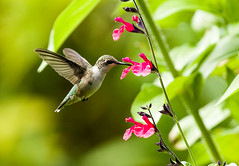 0P7A4336  Ruby-throated Hummingbird, Canada (ashahmtl) Tags: rubythroatedhummingbird bird hummingird archilochuscolubris ourbackyard pointeclaire quebec canada