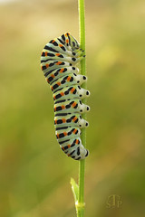 Chenille de Machaon (Papilio machaon) (stephane.n44) Tags: insectes insects papillon butterfly chenille caterpillar