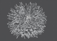 Changes (Helen Orozco) Tags: sliderssunday hss chrysanthemum photoshop processed
