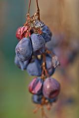 Dried Grapes (pstenzel71) Tags: natur pflanzen sträucher grapes wine wein dried darktable bokeh autumn fall herbst