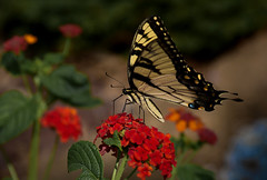 ~Swallowtail (Paul. (mp13 nhnc)) Tags: flowers orange black green yellow butterfly bush lantana swallowtail leaves blooms