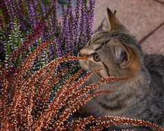 Mesmerized by the heather (FocusPocus Photography) Tags: leo katze kater cat kitten tabby tier animal heide heather