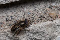 All About the Eyes - _TNY_8381 (Calle Söderberg) Tags: macro canon canon5dmkii canoneos5dmarkii canon5dmarkii 5d2 canonef100mmf28lmacroisusm raynox dcr250 flash canon580exii speedlite plåtdiffusorv1 syrphidae eristalinus aeneus eristalinae eristalini lathyrophthalmus insect f13