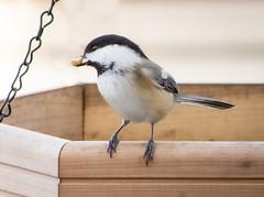 Chcikadee With A Nut (mahar15) Tags: bird chickadee outdoors wildlife blackcappedchickadee backyardbirds nature