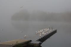 Mist over Black Swan Lake (Derek Morgan Photos) Tags: dintonpastures hurst winnersh mist blackswanlake gull blackheadedgull