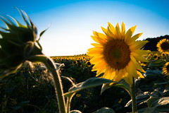 Sunflower (Theo Crazzolara) Tags: sunflower sun flower blossom yellow garden nature natural scenic scenery landscape agriculture autumn fall thanksgiving summer beautiful