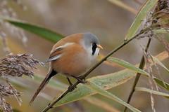 Bearded Tit male (HH) (Hammerchewer) Tags: beardedtit bird male wildlife outdoor reeds