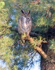I Don't Give A Hoot (Meryl Raddatz) Tags: owl bird greathornedowl nature naturephotography wildlife canada