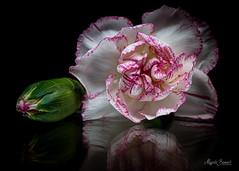Macro Mondays - Reflection (Magda Banach) Tags: nikond850 blackbackground buds colors flora flower green macro macromondays nature plants purple reflection