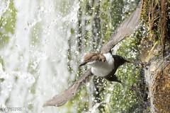 Mirlo bajo cascada (Antonio Piris) Tags: mirloacuático cincluscinclus birdlife wildlife extremadura