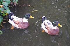 Ducks (Derek Morgan Photos) Tags: earley ducks maidenerleghlake