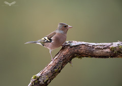 Chaffinch (Andy Davis Photography) Tags: fringillacoelebs jibinc finch chaffinch perched moss branch autumn sony