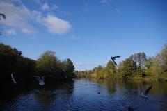 Maiden Erlegh Lake (Derek Morgan Photos) Tags: earley maidenerleghlake gull blackheadedgull