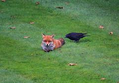 Pecking Order (Deepgreen2009) Tags: pecking order predator carrioncrow fox vixen garden home interaction food scraps close mammal animal competition needling bird wildlife