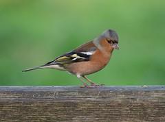 Chaffinch (PhotoLoonie) Tags: bird chaffinch avian wildbird wildlife nature