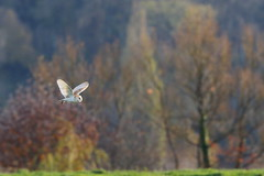 Autumnal Barn Owl (Robin M Morrison) Tags: barnowl allermoor somerset late afternoon