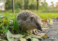 Wippertje Stekel (Marc Haegeman Photography) Tags: hedgehog egel wippertjestekel animals wildlife biesboschnationaalpark nikond850 marchaegemanphotography nikon nature natuur dieren erinaceuseuropaeus