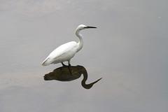 Egret, Plover Cove Reservoir, Tai Po Hong Kong