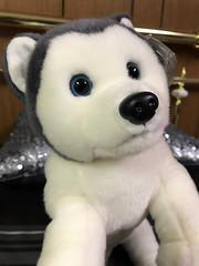 Nanook the Husky Beanie (daryl_mitchell) Tags: saskatchewan canada autumn 2018 regina nanook husky beanie