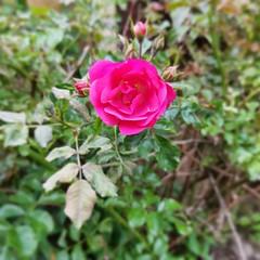 Rose Bush (kalhiggins06) Tags: rose rosebush bush pink flower