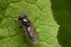 Different is Good - _TNY_8440 (Calle Söderberg) Tags: macro canon canon5dmkii canoneos5dmarkii canon5dmarkii 5d2 canonef100mmf28lmacroisusm raynox dcr250 flash canon580exii speedlite plåtdiffusorv1 syrphidae cheilosia örtblomfluga rhingiini eristalinae veganhoverfly insect leaf edge f22