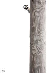 Brand new telephone post (Stefan Gerrits aka vanbikkel) Tags: canon5dmarkiii canonef500mmf4lisiiusm nature wildlife vanbikkel finland masku dendrocoposmajor greatspottedwoodpecker woodpecker grotebontespecht specht käpytikka