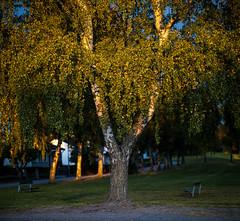 Uppsala, September 26, 2019 (Ulf Bodin) Tags: uppsala gunstaplan sverige birch tree träd gunstaparken sweden outdoor sunset canoneosr canonrf85mmf12lusm uppsalalän