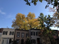 Yellow tree, fall color above row houses, Florida Avenue NW, Washington, D.C. (Paul McClure DC) Tags: washingtondc districtofcolumbia nov2019 autumn tree historic architecture dupontcircle