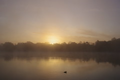 Sunrise through Mist over Black Swan Lake (Derek Morgan Photos) Tags: dintonpastures hurst winnersh mist blackswanlake sunrise