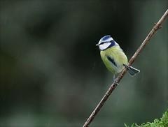 Petite bleue sous la pluie (valeriekling) Tags: mésange bleue oiseau passereau faune jura photo animlière