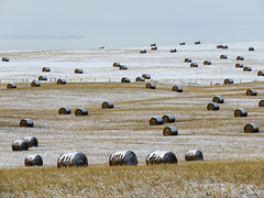Hay bales in the snow (annkelliott) Tags: alberta canada wofcalgary justnofhwy1 birdingtrip landscape scenery hill field harvest haybales scattered notyetcollected snowcovered stubble snow outdoor fall autumn 7november2019 canon sx60 canonsx60 powershot annkelliott anneelliott ©anneelliott2019 ©allrightsreserved