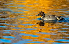 Northern Pintail (Karen_Chappell) Tags: bowringpark duck nature autumn orange brown blue water ripples reflections fall november park pond nfld newfoundland stjohns canada city pintail northernpintail swimming animal bird reflection colour colours colourful