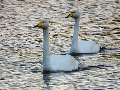 Whooper Swan(s) (Pendlelives) Tags: whooper swan swans yellow beak winter visitor migrant upper foulridge reservoir lake water flight nature wildlife countryside bird birds ornithology pendle pendlelives nikon p1000 clarity vibrant vibrance background animals colours colour color feathers uk british species