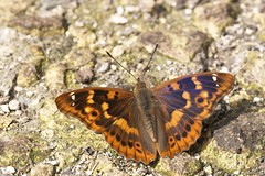 Petit Mars Changeant forme clytie (Apatura ilia) (stephane.n44) Tags: insectes insects papillon butterfly
