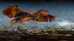 Great blue heron (Frank Schauf Photography) Tags: animal ardeaherodias bird florida greatblueheron kanadareiher nordamerika northamerica tier usa unitedstatesofamerica vogel saintpetersburg floridapinellascounty unitedstates
