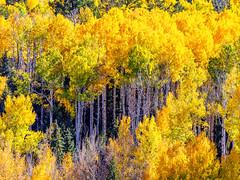 Fall color Colorado (Eric Zumstein) Tags: colorado fallcolor fall trees